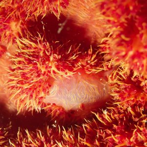 Cnidaires » Corail mou (alcyonaire) » Dendronephthya sp.