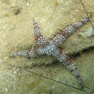 Échinodermes » Étoile de mer » Nardoa gomophia