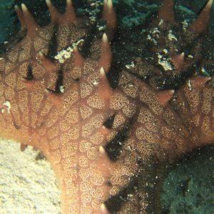 Échinodermes » Étoile de mer