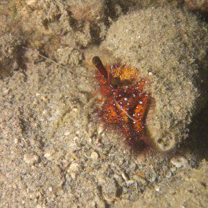 Crustacés » Bernard-l'ermite » Dardanus megistos