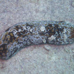 Échinodermes » Holothurie » Bohadschia argus