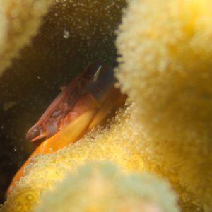 Crustacés » Crabes » Trapezia cymodoce