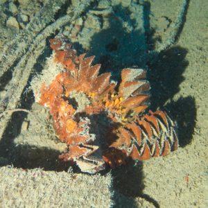 Mollusques » Bivalves » Lopha cristagalli