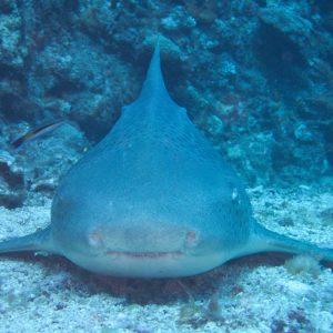Poissons cartilagineux » Requin » Stegostoma fasciatum