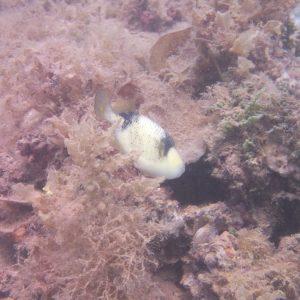 Balistoides viridescens - Nouvelle-Calédonie, Nouméa, Ouémo