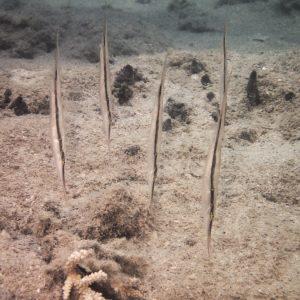 Poissons » Poisson-couteau » Aeoliscus strigatus