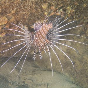 Poissons osseux » Rascasse » Pterois antennata
