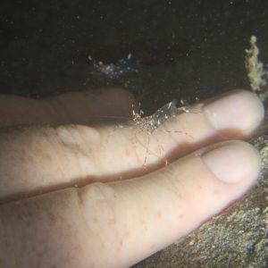Crustacés » Crevette