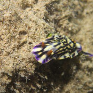 Mollusques » Gastéropode » Limaces de mer (opisthobranche) » Nudibranche » Doridien » Hypselodoris maritima