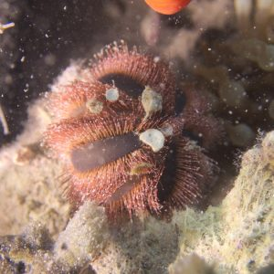 Échinodermes » Oursin » Mespilia globulus