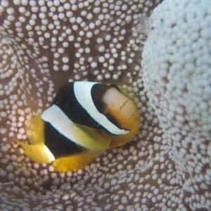 Poissons » Poisson-clown » Amphiprion clarkii