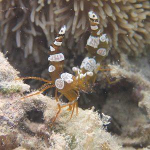 Crustacés » Crevettes » Thor amboinensis