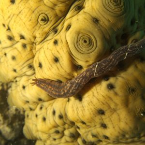 Échinodermes » Holothurie » Synaptula media