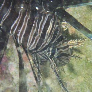 Poissons osseux » Rascasse » Pterois volitans
