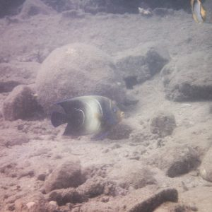 Poissons osseux » Poisson-ange » Pomacanthus semicirculatus