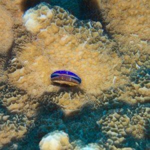 Mollusques » Bivalve » Pedum spondyloideum
