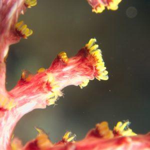 Cnidaires » Coraux mous