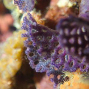 Lophophorien » Bryozoaire » Iodictyum buchneri