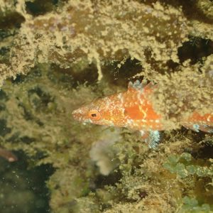 Poissons » Labre » Oxycheilinus sp.