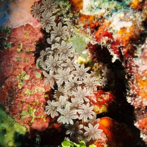 Cnidaires » Corail mou (alcyonaire) » Clavularia sp.