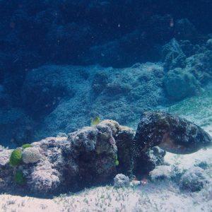 Mollusques » Céphalopode » Seiche (Sepia latimanus)