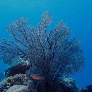 Gorgone - Nouvelle-Calédonie, Parc naturel de la Mer de Corail, Récifs d'Entrecasteaux, Atoll Surprise