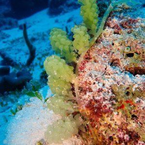 Végétaux » Algue verte » Caulerpa racemosa var. chemitza