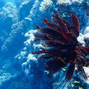 Crinoïde - Nouvelle-Calédonie, Parc naturel de la Mer de Corail, Récifs d'Entrecasteaux, Atoll Surprise