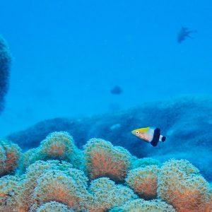 Poissons osseux - Nouvelle-Calédonie, Parc naturel de la Mer de Corail, Récifs d'Entrecasteaux, Atoll Surprise