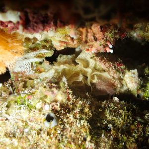 Ectoprocte (bryozoaire) » Iodictyum sp.