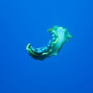 Ver plat (plathelminthe) - Nouvelle-Calédonie, Parc naturel de la Mer de Corail, Récifs d'Entrecasteaux, Atoll Surprise