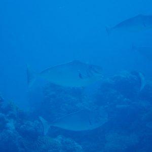 Poissons osseux - Nouvelle-Calédonie, Parc naturel de la Mer de Corail, Récifs d'Entrecasteaux, Passe de l'ilot Fabre