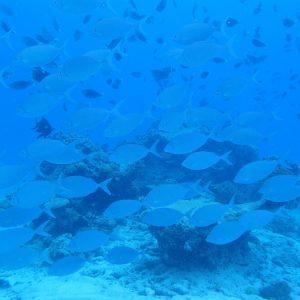 Poissons osseux - Nouvelle-Calédonie, Parc naturel de la Mer de Corail, Récifs d'Entrecasteaux, Fausse passe de l'atoll Huon