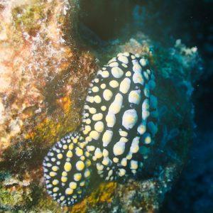 Mollusques » Gastéropode » Limaces de mer (opisthobranche) » Nudibranche » Doridien » Phyllidia coelestis