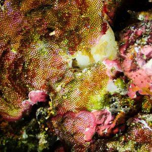 Lophophorien » Bryozoaire » Alcyionidium sp.