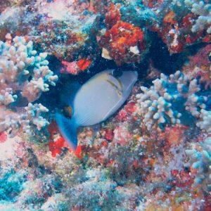 Sufflamen bursa - Nouvelle-Calédonie, Parc naturel de la Mer de Corail, Récifs d'Entrecasteaux, Atoll Huon