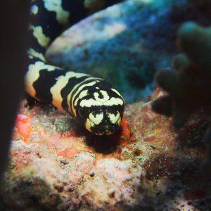 Reptiles » Serpent » Emydocephalus annulatus