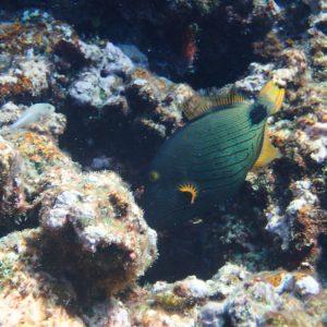 Balistapus undulatus - Nouvelle-Calédonie, Parc naturel de la Mer de Corail, Récifs d'Entrecasteaux, Atoll Huon