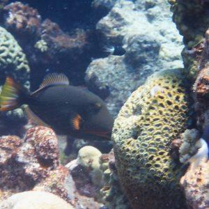 Baliste - Nouvelle-Calédonie, Parc naturel de la Mer de Corail, Récifs d'Entrecasteaux, Atoll Huon