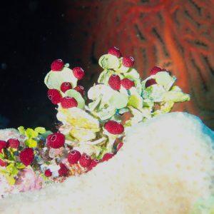 Tuniciers » Ascidie » Didemnum sp.