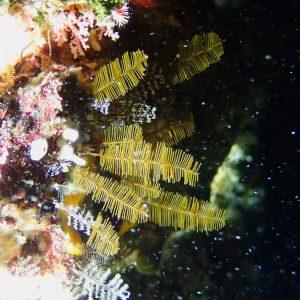 Cnidaires » Hydraire (hydrozoaire)