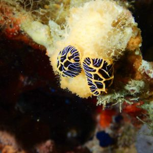 Mollusques » Gastéropode » Limaces de mer (opisthobranche) » Nudibranche » Doridien » Reticulidia halgerda