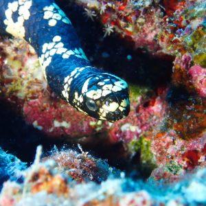 Emydocephalus annulatus