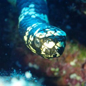 Serpent marin » Emydocephalus annulatus