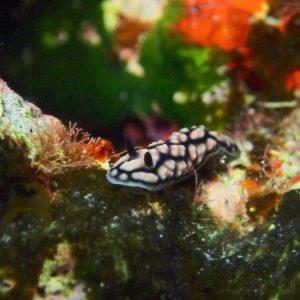 Mollusques » Gastéropode » Limaces de mer (opisthobranche) » Nudibranche » Doridien » Phyllidiella pustulosa