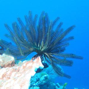 Crinoïde - Nouvelle-Calédonie, Parc naturel de la Mer de Corail, Récifs d'Entrecasteaux, Atoll Huon