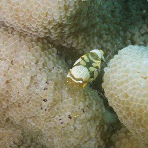 Crustacés » Crevettes » Periclimenes brevicarpalis