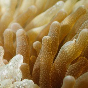 Cnidaires » Anémones de mer