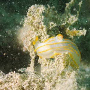 Mollusques » Gastéropodes » Nudibranches » Gymnodoris striatum