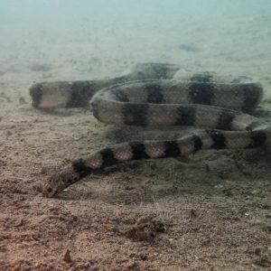 Reptiles » Serpent » Hydrophis coggeri